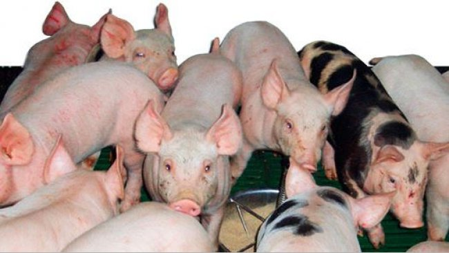 High weight of piglets at weaning