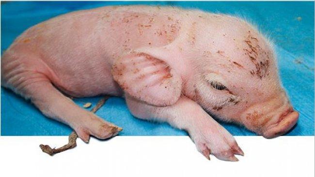 Affected piglet