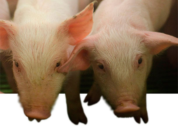 Anorexia in weaned piglets