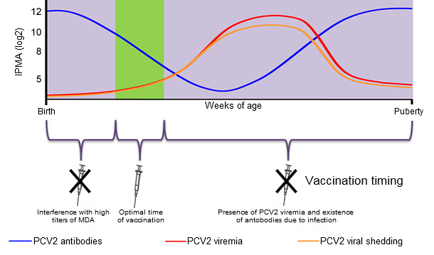 Optimal time for piglet PCV2 vaccination