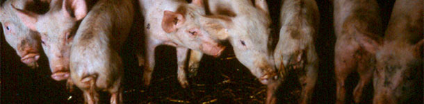 Weaned pigs with diarrhoea, showing varying degrees of weight loss and dehydration