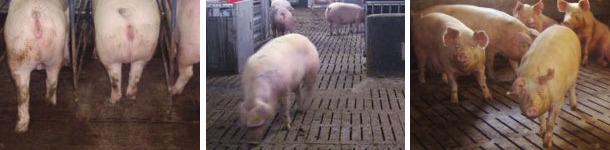 Various types of loose sow housing 3
