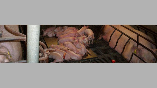 Use of the space in the farrowing pens