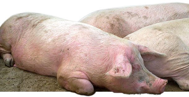 Diseased sows in group housing pen with EM, characterized by red, raised skin areas that appeared all over the body
