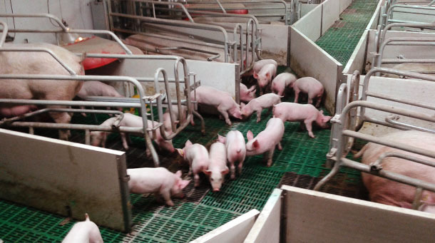 Open farrowing pens so the piglets can go from one to the other.