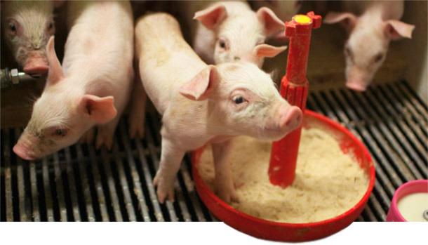 Lechones en lactación artificial