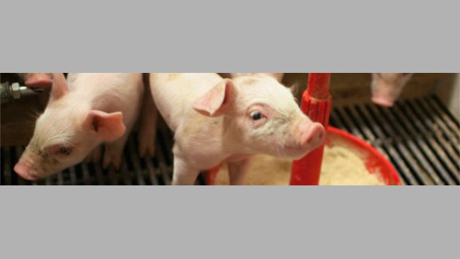Piglets on a milk replacer diet