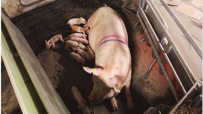 SWAP system in the sow-stall-free period. Courtesy of Christian Fink Hansen