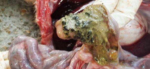 Cerdo de 5 semanas. Neumonía intersticial y exceso de líquido en la cavidad torácica