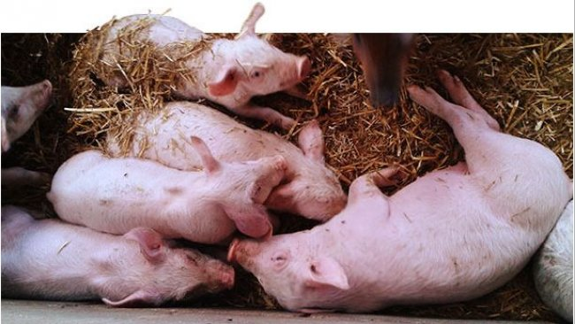 52-day-old piglets. Uneven weights