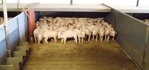 Los suelos con una parte de slat y una parte sólida son ya bastante comunes en muchas granjas