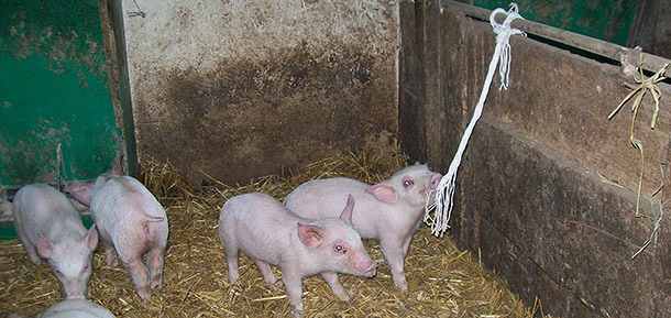 Viraemic pigs are usually found in hospital pens.