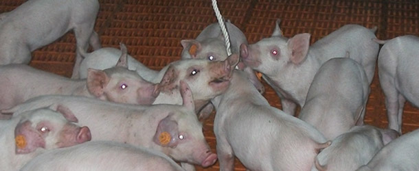 Weaned piglets need more time than fatteners to interact with the rope