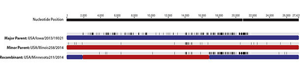 Genome recombination areas of PEDv