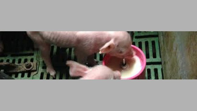 Piglets given a milk supplement