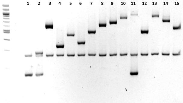 Characterization of Haemophilus parasuis serotypes