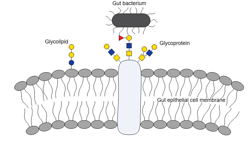 Bacterial-glycan interactions are important to bacterial colonization of the gut, as bacterial molecules adhere to specific glycans on host cells