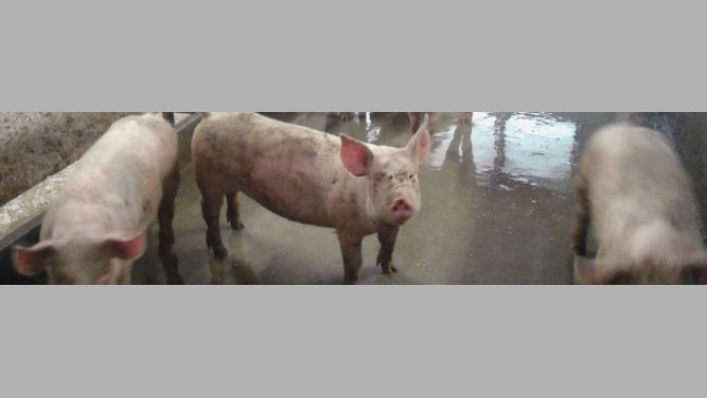 Fattening pigs with a dirty pen.