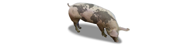 Pig with world map