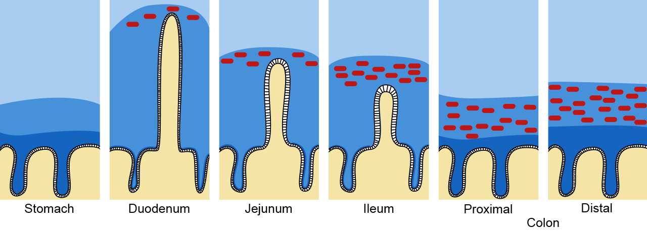 Mucous and mucin barrier in the intestinal tract