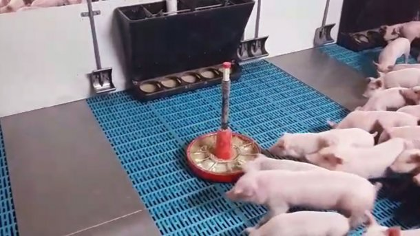 Choice feeding consists of providing different feeds at the same time for a few specific days, either a lacto-initiator and a pre-starter or a pre-starter and a starter, so that the piglet itself chooses which proportions of each feed to eat.
