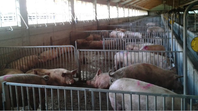 Pregnant sows in pens