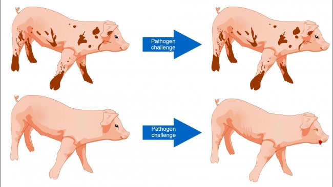 Figure 1. Pigs exposed to an environment with more microbes are better able to tolerate a disease challenge as a result of a diverse microbial community and more robust immune system.