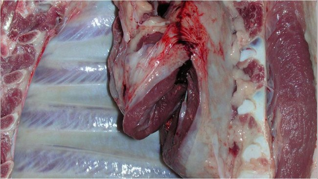 Pericarditis in a slaughtered pig.