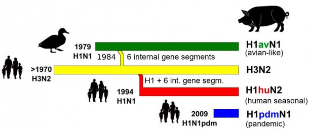 Figure 1. History and origin of porcine influenza A viruses (IAV) currently in circulation in Europe. It