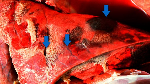 Acute pleuropneumonia in swine: three observations (indicated by arrows) can frequently be made: consolidated areas that are from dark red to black, interlobular edema and fibrinous pleuritis. Picture courtesy of Dr Robert Desrosiers