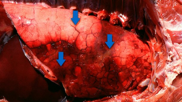 Acute pleuropneumonia in swine: three observations (indicated by arrows) can frequently be made: consolidated areas that are from dark red to black, interlobular edema and subtle fibrinous pleuritis. Picture courtesy of Dr Robert Desrosiers