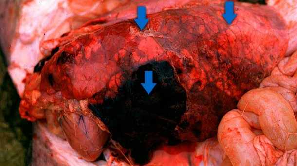 Acute pleuropneumonia in swine: three observations (indicated by arrows) can frequently be made: consolidated areas that are from dark red to black, interlobular edema and, in this picture, subtle fibrinous pleuritis. Picture courtesy of Dr Robert