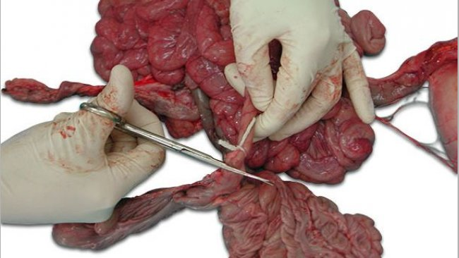 Photo 1:Tie up the ends of the intestinal section before cutting.