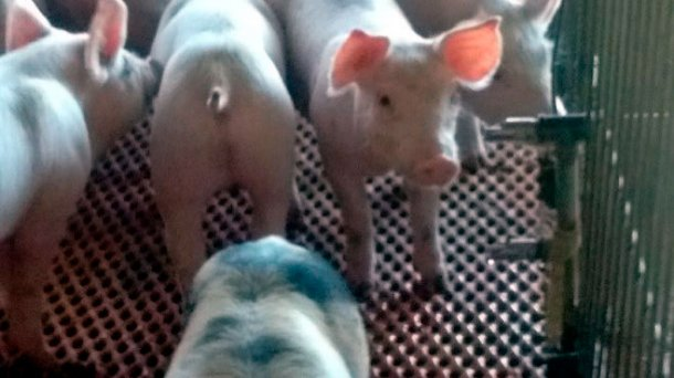 Picture 1. Nipple drinker- incorrect angle. Nipple drinkers should allow the piglet to drink raising its head slightly. Courtesy from: Beltrán-Rosas.