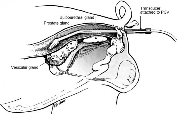 Fig. 1: Placement of transducer holder with the transducer per rectum for visualization of accessory sex glands of the boar (from Clark & Althouse, 2002).