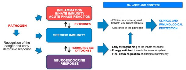 Figure 2a. Interaction between Immunity and Neuroendocrine response: balanced and controlled inflammatory and immune response leading to clinical and immunological protection.