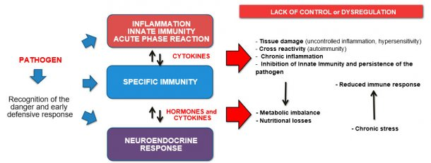 Figure 2b: Interaction between Immunity and Neuroendocrine response in uncontrolled evolution of the inflammation / immunity: chronic inflammation or persistent infection are associated with metabolic disorders.