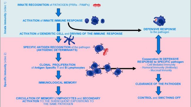 Figure 1.  Phases of onset, activation and progression of Innate and Specific Immunity against a pathogen