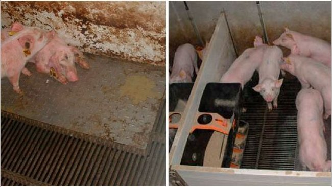 Figure 2 – Pigs reared in dirty (left) and clean (right) conditions during the prestarter phase.