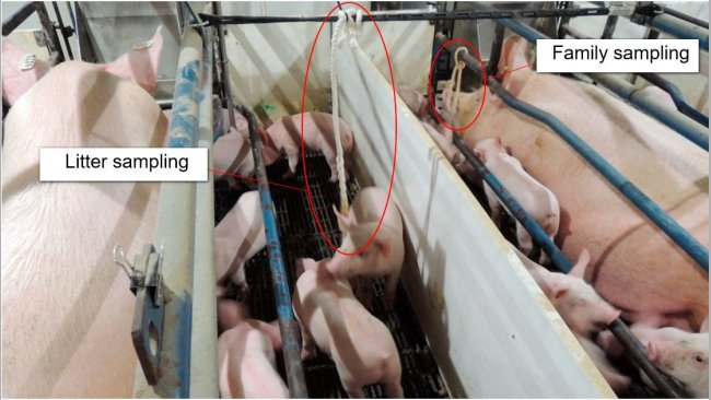 Figure 1. Litter sampling (only piglets exposed to a cotton rope) and family sampling (both sow and piglets are exposed to a cotton rope).