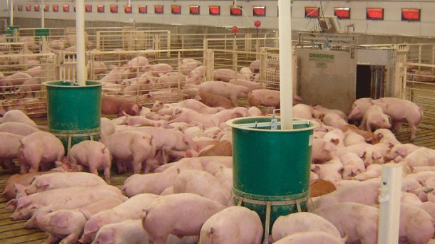 Osborne's exclusive Weight Watcher™ system manages the growth of up to 600-head of pigs in large groups by the daily weighing and sorting of animals as they move from water to feed pens.