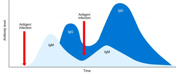 Figure 1: Isotypic switching and primary and secondary immune response to subsequent exposition to the same antigen.
