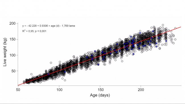 Graph 1. Evolution of live weight with age in lame (blue) and not lame (black) gilts