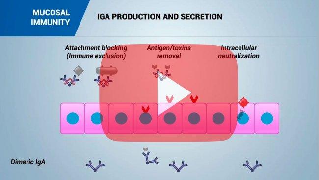 Mucosal immunity