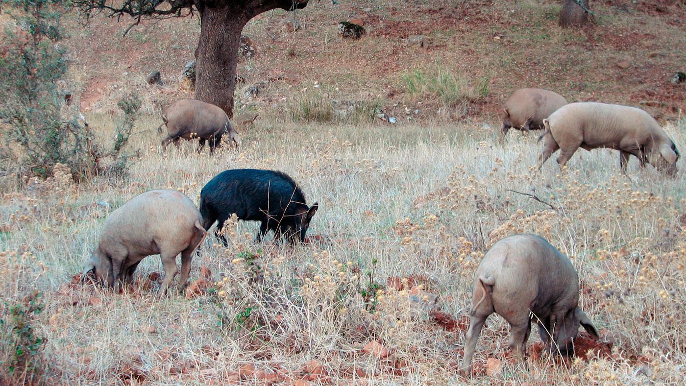 African Swine Fever (ASF) 2018-2019 - pig333, pig to pork