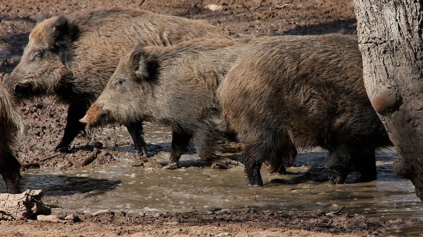 Wild boars in a wallow. The number and space distribution of wild boars is determined by water and food availability.