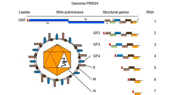 Figure 1. The genome of PRRSV is a single stranded RNA molecule.