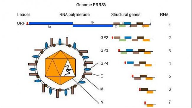 Figure 1.The genome of PRRSV is a single stranded RNA molecule.