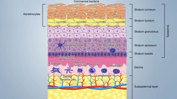 Figure 1. Skin layers scheme.