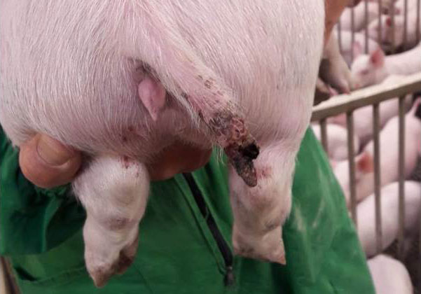 Figure 1. A serious injury in a pig of almost 15 kg, even with part of the tail missing.